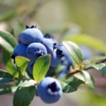 Medicinal Properties of Bilberry