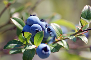 medicinal properties of bilberries