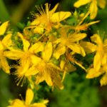 Benefits and Side Effects of St. John's Wort