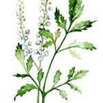 Benefits and Side Effects of Black Cohosh