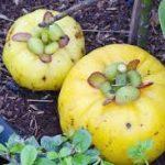 Garcinia Cambogia – A Natural Appetite Suppressant