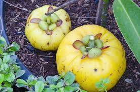 Garcinia cambogia Fruit, The Best Appetite Suppressor, appetite suppressant